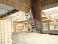 Tabby - Grey - Milo - Small - Young - Male - Cat Milo