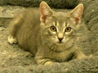 Tabby - Grey - Mo - Medium - Young - Male - Cat Hard to