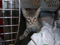 Tabby - Grey - Monroe - Medium - Baby - Male - Cat
