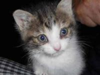 Tabby - Grey - Murphy - Small - Baby - Male - Cat This