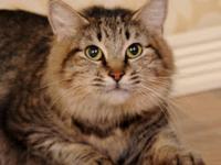 Tabby - Grey - Nine Inch Tails - Medium - Adult -