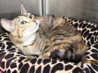 Tabby - Grey - Norma - Small - Adult - Female - Cat