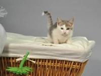 Tabby - Grey - Norwood - Medium - Baby - Male - Cat To