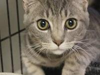 Tabby - Grey - Oliver - Small - Young - Male - Cat All