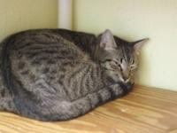 Tabby - Grey - Oscar - Medium - Adult - Male - Cat