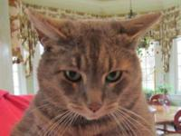Tabby - Grey - Peanut - Medium - Young - Male - Cat
