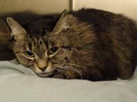 Tabby - Grey - Peggy - Medium - Adult - Female - Cat