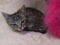 Tabby - Grey - Pixie - Small - Baby - Female - Cat **