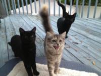 Tabby - Grey - Please Adopt/foster 4 Mo. Old Kittens! -