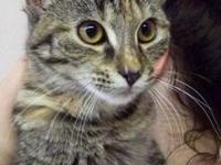 Tabby - Grey - Precious - Medium - Baby - Female - Cat