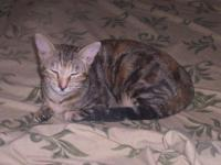 Tabby - Grey - Princess - Large - Adult - Female - Cat