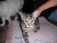 Tabby - Grey - Rosie - Medium - Young - Female - Cat