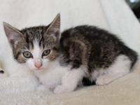 Tabby - Grey - Sadie - Small - Young - Female - Cat