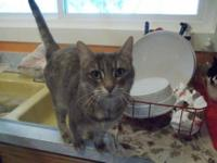 Tabby - Grey - Sally - Medium - Young - Female - Cat