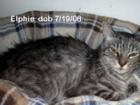 Tabby - Grey - Samantha - Small - Young - Female - Cat