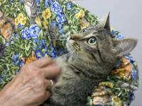 Tabby - Grey - Sammie - Medium - Young - Female - Cat I