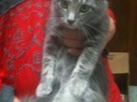 Tabby - Grey - Savannah - Medium - Young - Female -