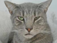Tabby - Grey - Shadow - Large - Adult - Male - Cat