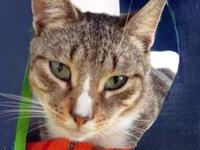 Tabby - Grey - Shirley - Medium - Adult - Female - Cat