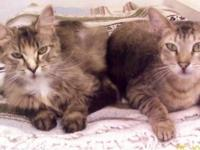 Tabby - Grey - Silver Tabby Cat - Small - Adult - Male