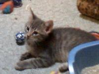 Tabby - Grey - Simon - Medium - Young - Male - Cat
