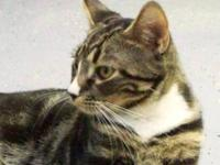 Tabby - Grey - Snapdragon - Medium - Young - Male -