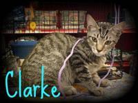 Tabby - Grey - Stuart - Medium - Young - Male - Cat Hi