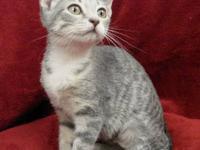 Tabby - Grey - Tawny - Medium - Young - Female - Cat
