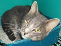 Tabby - Grey - Ted - Medium - Adult - Male - Cat Age of