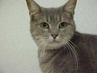 Tabby - Grey - Tigger - Medium - Adult - Male - Cat
