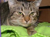 Tabby - Grey - Wendy - Medium - Baby - Female - Cat