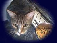 Tabby - Grey - Wendy - Medium - Young - Female - Cat