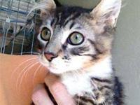 Tabby - Grey - Wl - Rex - Medium - Young - Male - Cat