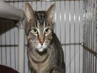 Tabby - Grey - Zena - Medium - Adult - Female - Cat