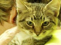 Tabby - Hobart - Medium - Baby - Male - Cat Hobart is a