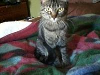Tabby - Hope - Small - Adult - Female - Cat Hope DOB