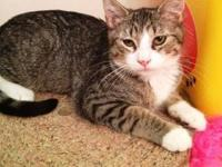 Tabby - Isee - Medium - Young - Male - Cat