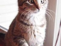 Tabby - Jackson Browne - Medium - Young - Male - Cat