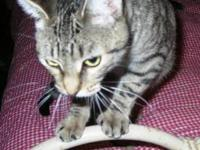Tabby - Jelly Bean - Medium - Adult - Female - Cat
