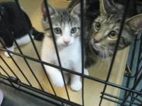 Tabby - Kittens!!!!!!! - Small - Baby - Female - Cat