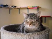 Tabby - Larry - Large - Young - Male - Cat Super