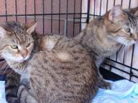 Tabby - Laverne & Shirley - Medium - Young - Female -