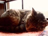 Tabby - Lillian - Large - Adult - Female - Cat Lilian