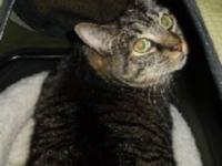 Tabby - Lola - Medium - Adult - Female - Cat Lola is a