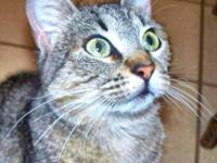 Tabby - Lola - Medium - Adult - Female - Cat The