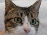 Tabby - Mandy Id-25483 - Large - Young - Female - Cat