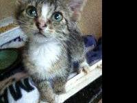 Tabby - Marie - Medium - Baby - Female - Cat Marie was