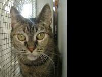 Tabby - Michelle - Medium - Adult - Female - Cat