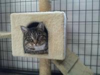 Tabby - Miracle - Small - Young - Female - Cat