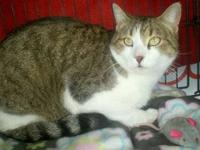 Tabby - Miss Moneypenny - Medium - Adult - Female -